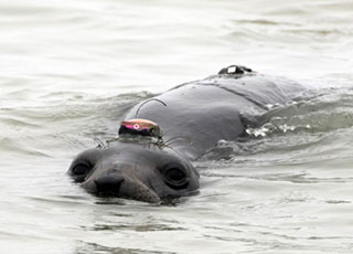 Female northern elephant seal with a Wildife Computers GPS tag on her head. The tags on her lower back are archival MK 9 tags that are used to record diving behavior. Credit: Dr. Daniel  Costa