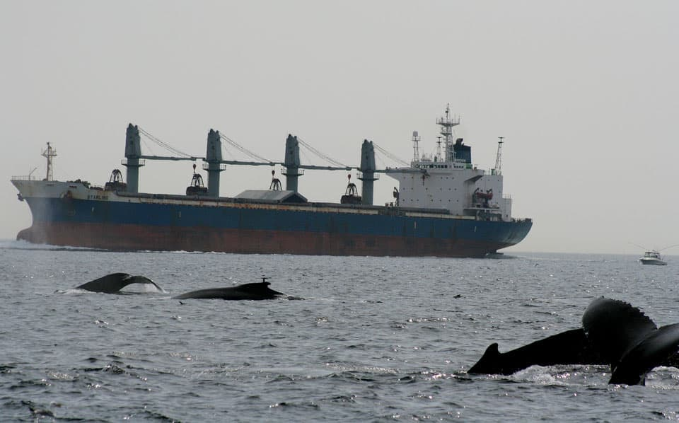 Whales surface near a tanker. Getting hit by a ship, boat, or other marine vessel is a real threat to ocean mammals.