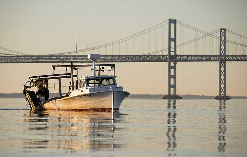 A waterman hangs over the side of his boat inspecting oysters over calm water with a huge steel bridge in the background Credit: U.S. Fish and Wildlife Service