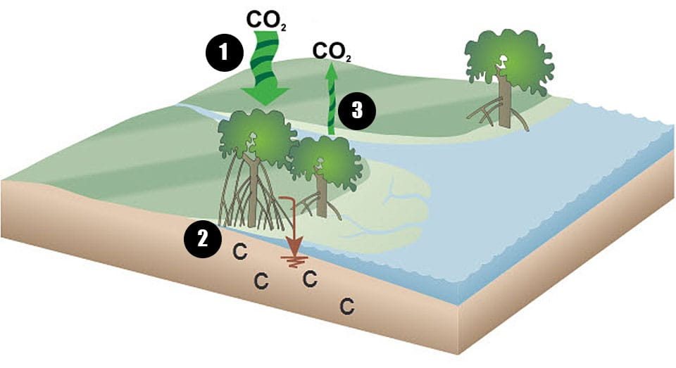 a graphic showing a simplified model of the carbon cycle