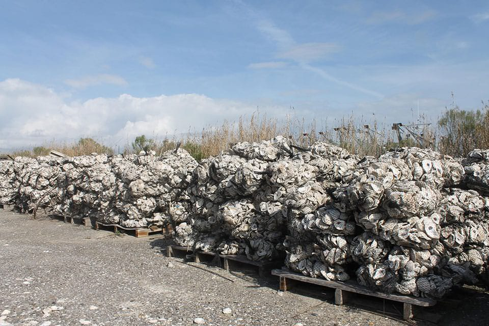 stacks of recycled oyster shells