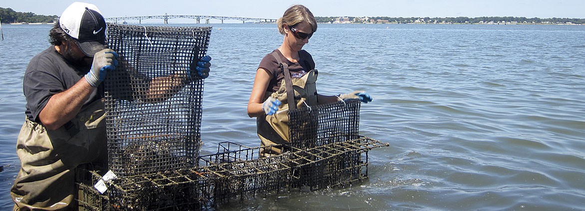 oyster aquaculture in  Chesapeake bay
