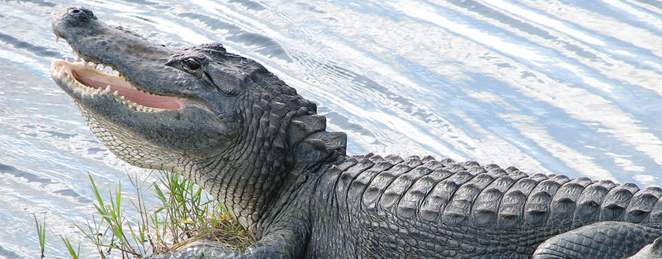 A sunbathing alligator