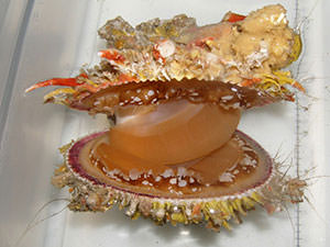 spiny oyster