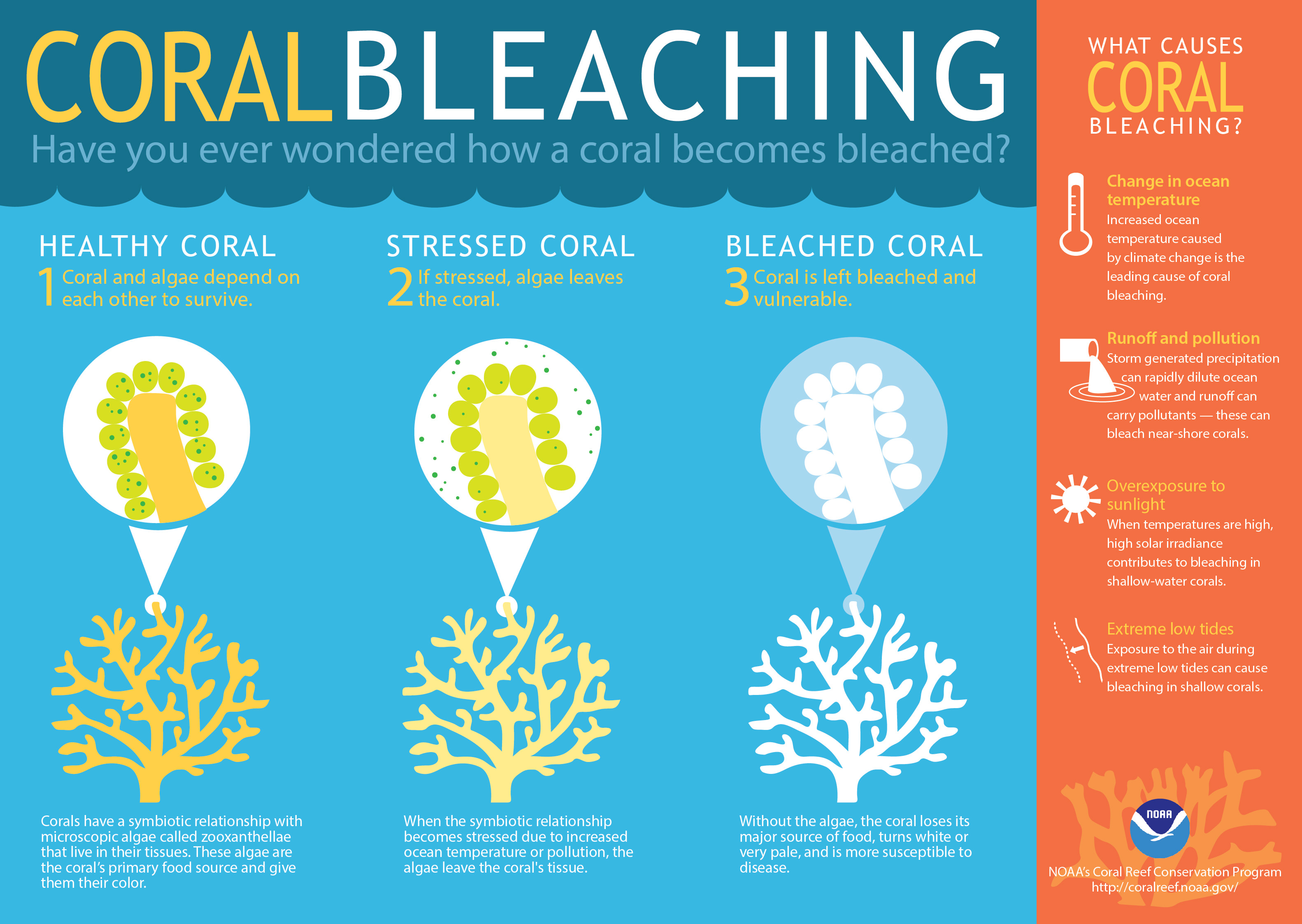 http://oceanservice.noaa.gov/facts/coralbleaching-large.jpg