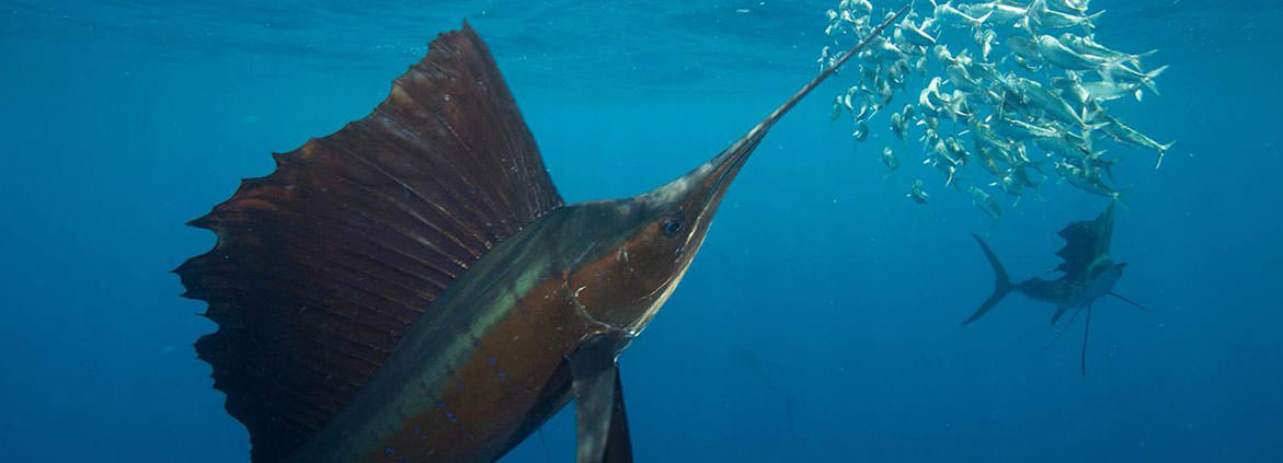 Sailfish hunting sardines in the open ocean off the coast of Mexico. Image courtesy of Rodrigo Friscione