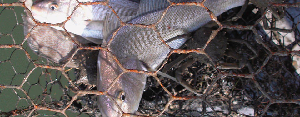 Atlantic croaker trapped within a derelict crab pot