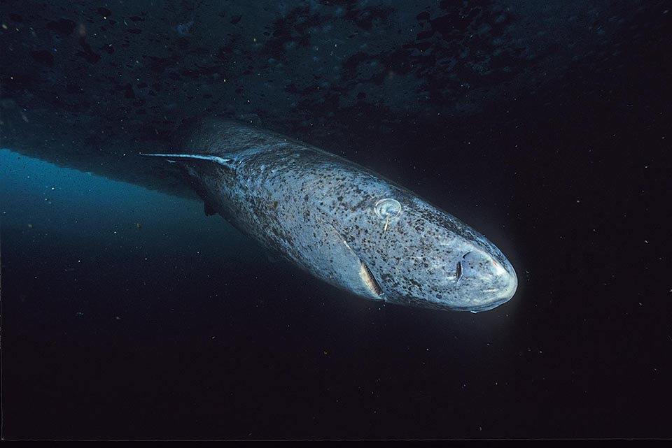 Close-up image of a greenland shark taken at the floe edge of the Admiralty Inlet, Nunavut.