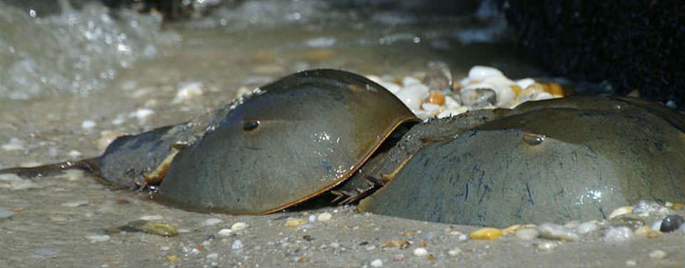 horseshoe crabs mating