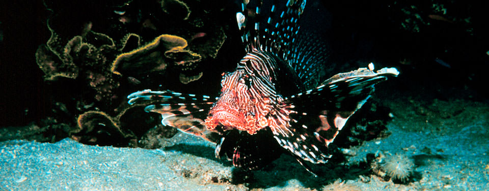Why are lionfish a threat to atlantic ocean fish invasive lionfish threaten native fish and the environment in us atlantic coastal waters sciox Choice Image