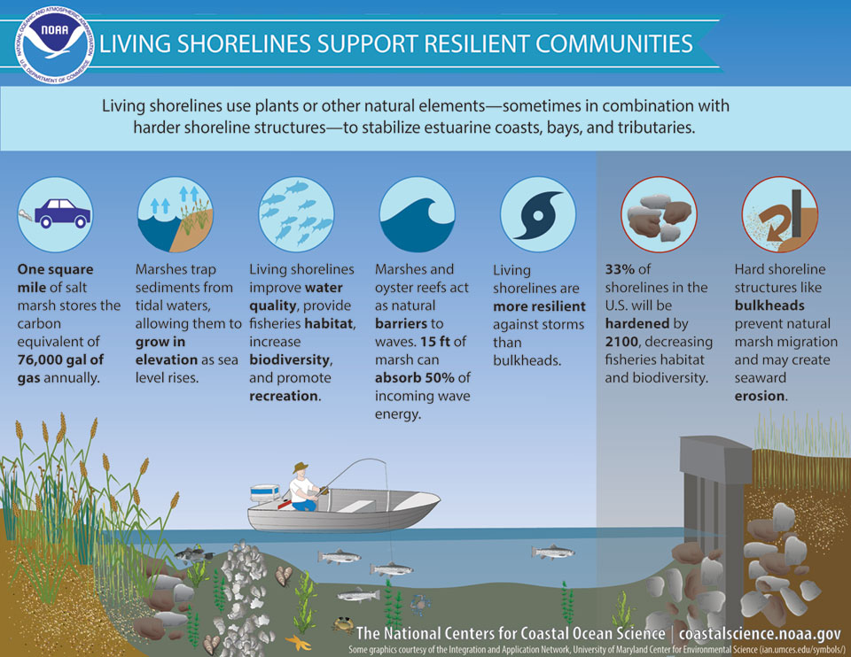 an infographic that illustrates how living shorelines support resilient communities