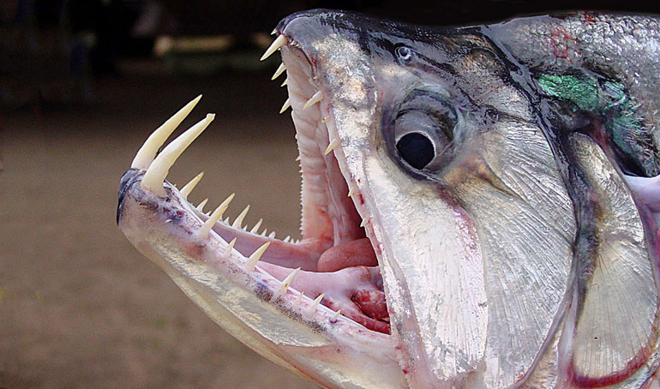 Arawana Osteoglossum Bicirrhosum together with 4 Scary Fish In Lake Michigan likewise 04 furthermore Stingray Catch Thailand Fishing additionally Id40. on oscar caught fishing