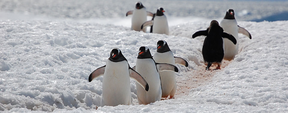 A group of Antarctic Gentoo penguins