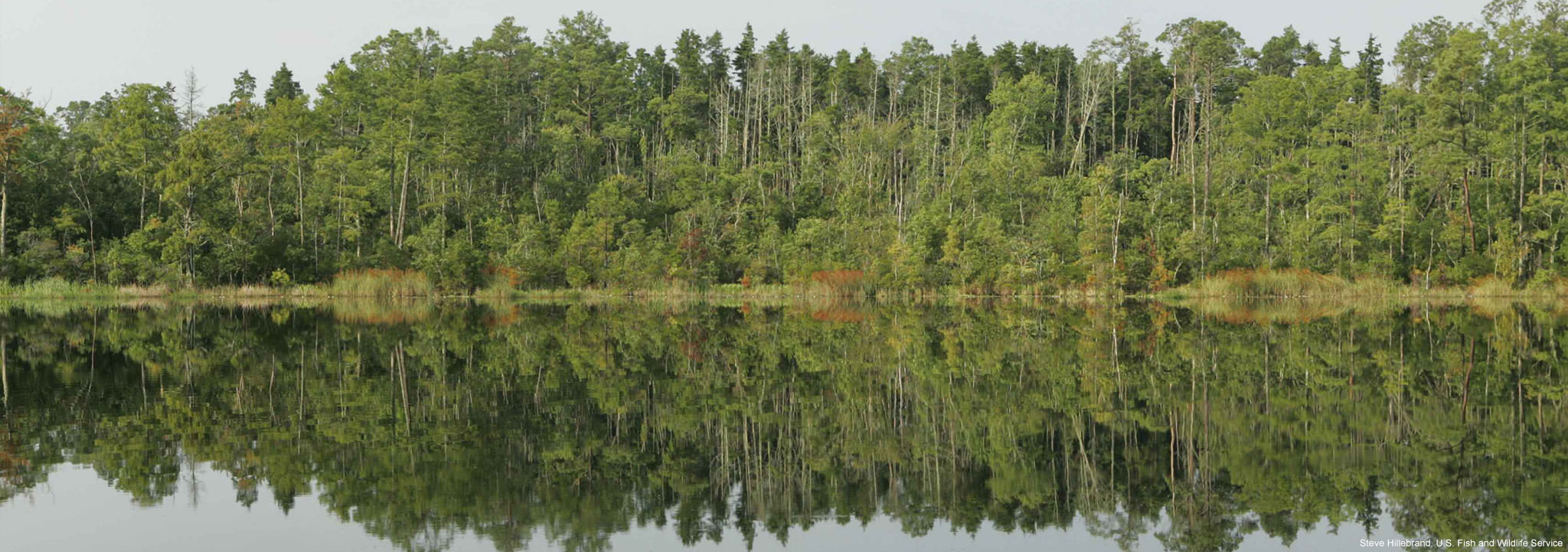 A pocosin pine forest lines the shore of a lake. Image credit: Steve Hillebrand, U.S. Fish and Wildlife Service