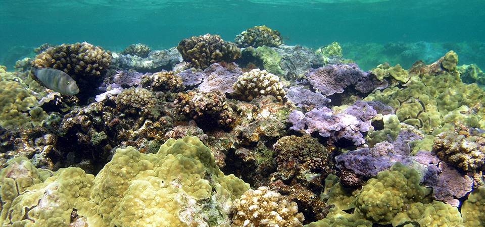 ​Coral reef​s ​​​​in the clear blue waters of Kure Atoll in ​Hawaii's Papahānaumokuākea Marine National Monument​