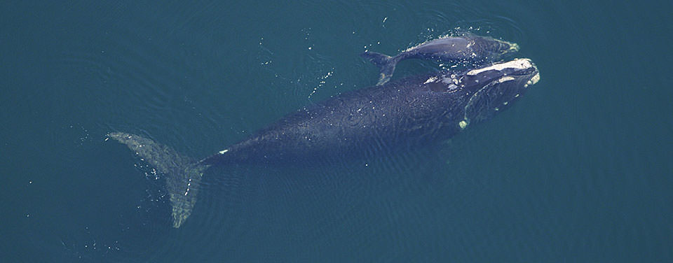 Image of 2 Right Whales