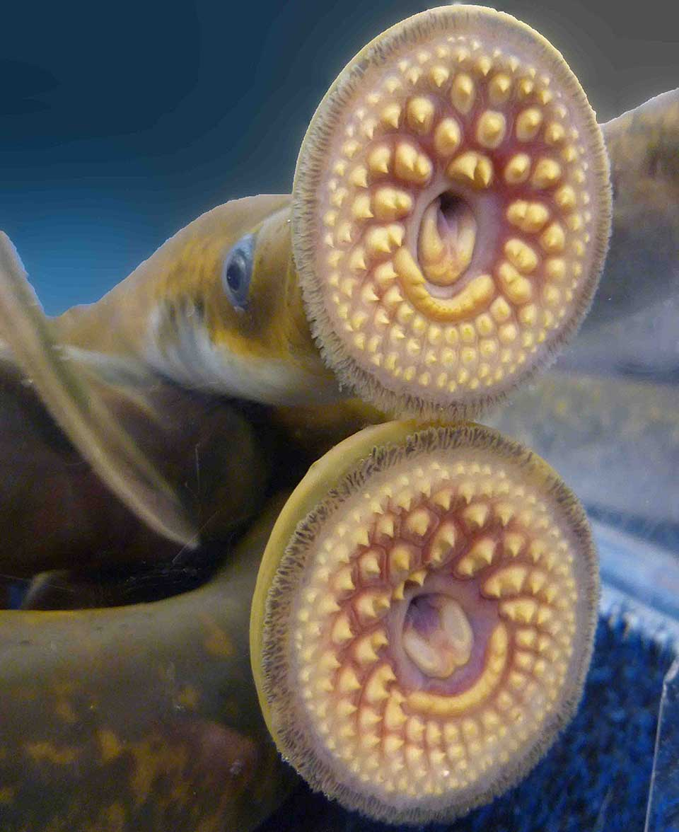 What Is A Sea Lamprey