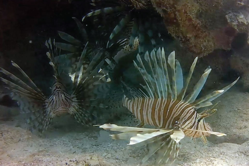 What Is A Turkeyfish