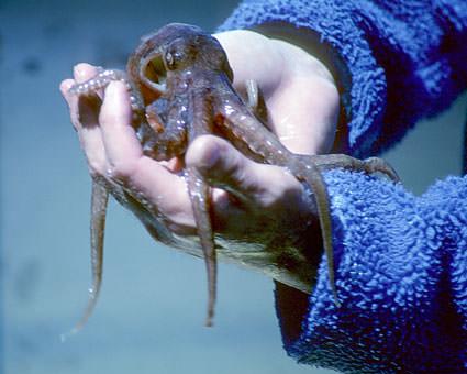 Handheld Octopus