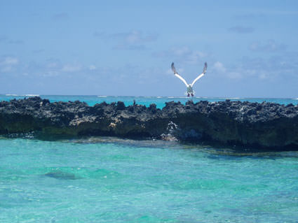 red-footed booby. Image credit: Claire Fackler, NOAA National Marine Sanctuaries