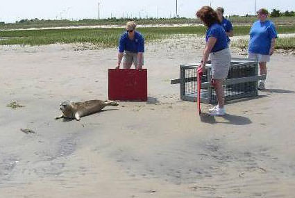NOAA volunteers release seal