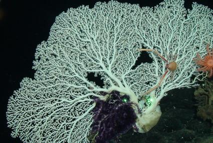 Corallium coral