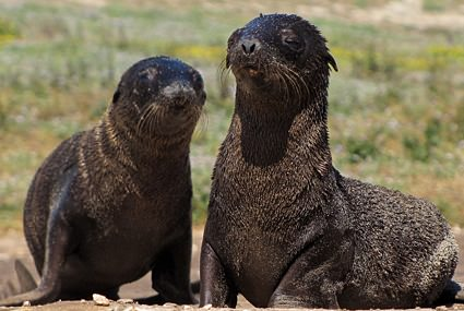 Northern fur seal pups