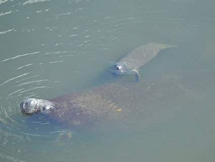 Mom and baby manatee