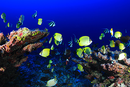 Fish on Deep Reef, Pearl and Hermes Atoll