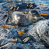 Monk Seal on Marine Debris