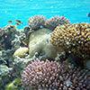 goatfish on shallow reef