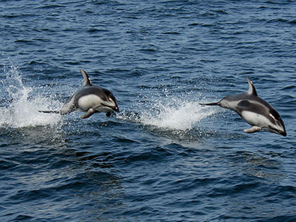 White-sided Dolphins. Image credit: Robert Schwemmer, NOAA National Marine Sanctuaries