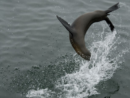 A sea lion is captured in mid-backflip off the California coast. Image credit: Robert Schwemmer, NOAA National Marine Sanctuaries