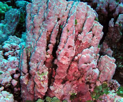 Coralline Algae