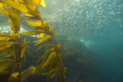 kelp. Image credit: Robert Schwemmer, NOAA National Marine Sanctuaries
