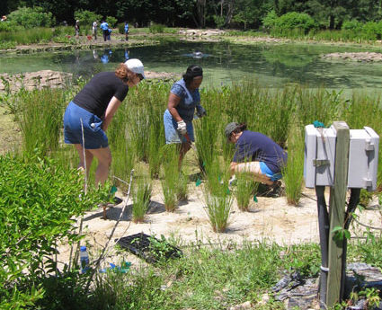 planting seagrass