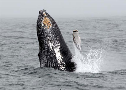 Whale Breach. Image credit: Robert Schwemmer, NOAA National Marine Sanctuaries