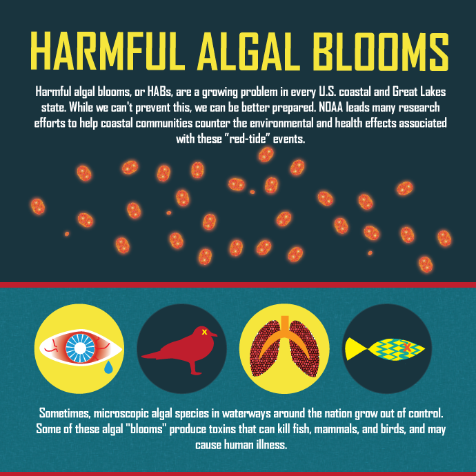 Harmful algal blooms, or HABs, are a growing problem in every U.S. coastal and Great Lakes state. While we can't prevent these blooms, we can be better prepared. NOAA leads many research efforts to help coastal communities counter the environmental and health effects associated with these events.