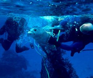 seal caught in debris