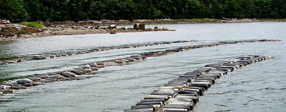 oyster aquaculture in a river