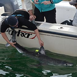 a shark being tagged by researchers