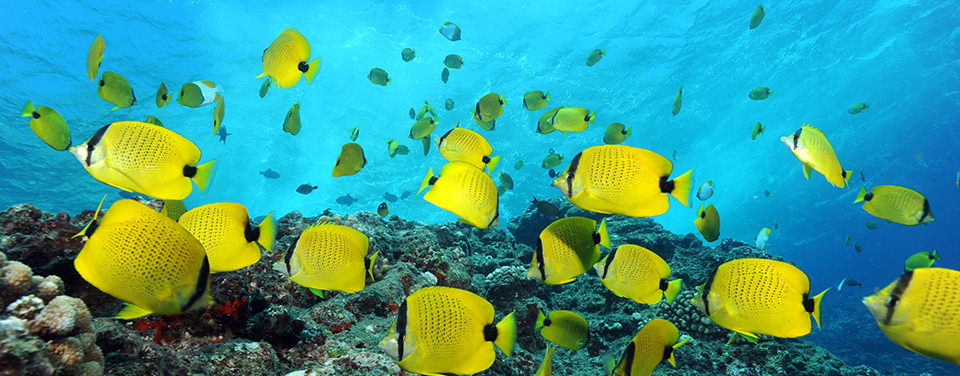 Butterfly fish; photo by Greg McFall