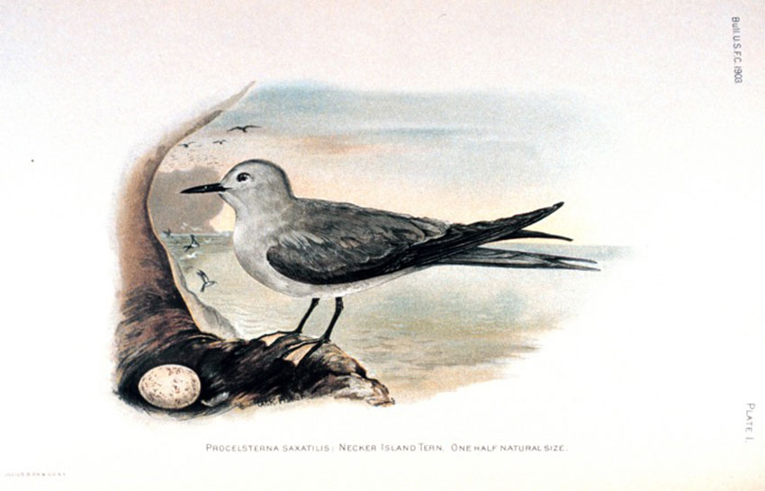 A Necker Island Tern (Procelsterna saxatilis) in Birds of Laysan and the Leeward Islands, Hawaiian Group by Walter K. Fisher (Bulletin of the Bureau of Fisheries, Volume 23, 1903)