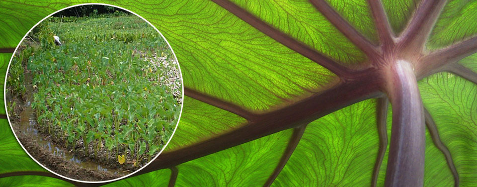 a close-up of a taro leaf with inset image showing field of taro in Palau