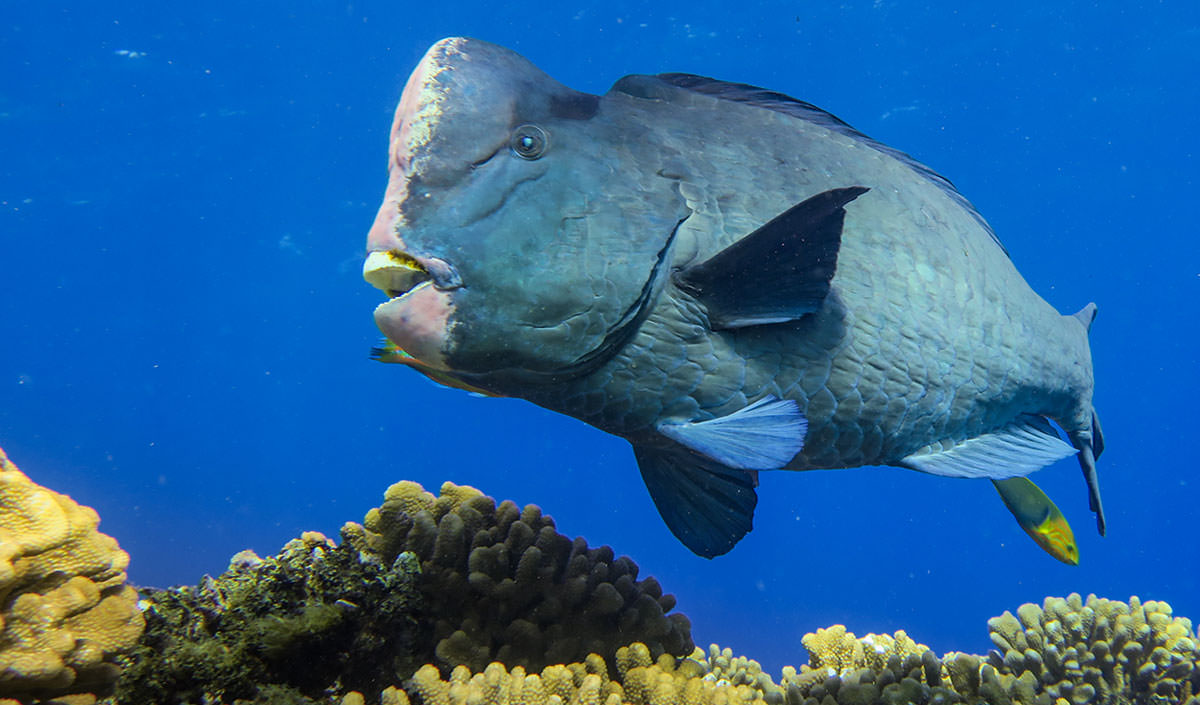 The giant Bumphead parrotfish; credit: Andrew E. Gray
