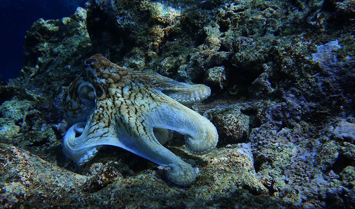 octopus near Agrihan Island; credit Louise Giuseffi)