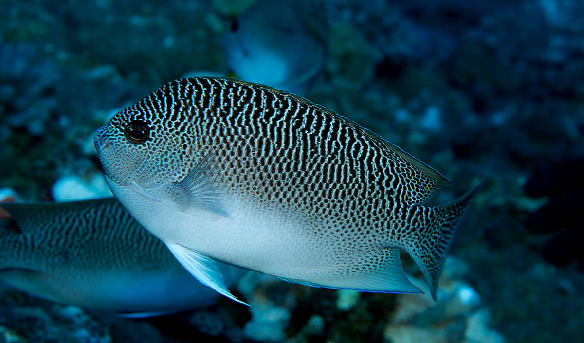 Rare anglefish species; credit: NOAA, Andrew E. Gray)