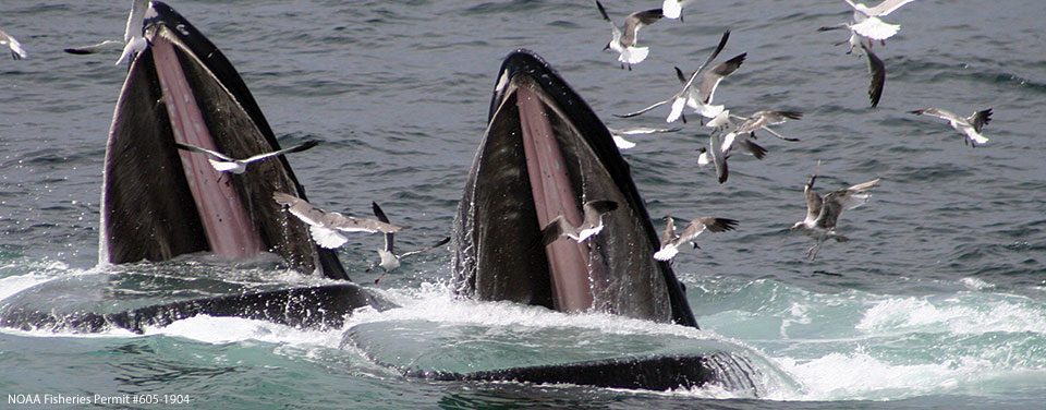 Two humpback whales feed in the waters of Stellwagen Bank National Marine Sanctuary.