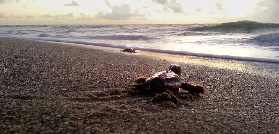 image courtesy of Veronica Runge; loggerhead turtle hatchlings