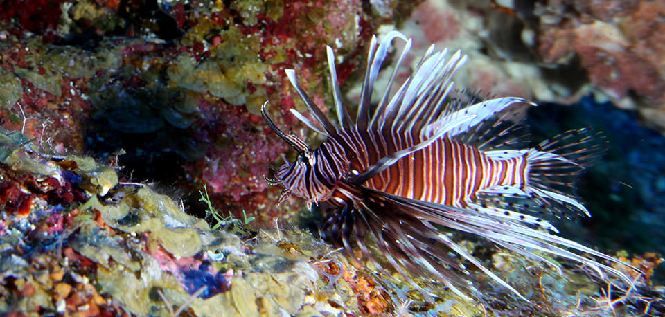 effects of the lionfish invasion Lionfish are a non-native species in the atlantic ocean how lionfish will affect native fish populations and commercial fishing industries has yet to be determined, but invasive species generally have a very big negative impact on native ecosystems and local fishing economies.